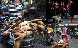 कुकुरको मासु खाने पर्व, १५ हजार कुकुर काटिदै
