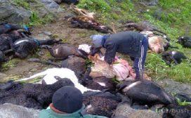 चट्याङले भेडा मर्दा रु १० लाख बराबरको क्षति