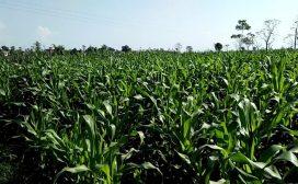 मकै खेतीमा कृषकको संलग्नता बढ्दो