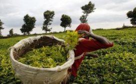 कौडीको भाउमा चिया बेच्दा मन रुन्छः चिया किसान