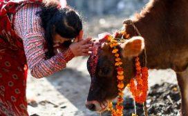 यमपञ्चकको चौथो दिन : गाई, गोरु, हली तिहार मनाइँदै